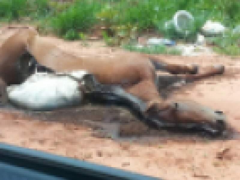 O cavalo já estava e processo de putrefação na rua dos Astronautas, no Guanandi II. (Foto:Direto das Ruas)