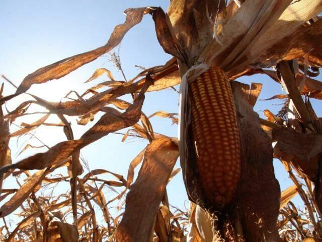 Plantação de milho da safra passada em Mato Grosso do Sul: ciclo 2017/2018 deverá ter 2,7 milhões de toneladas de milho a menos em relação ao anterior (Foto: Marcos Ermínio)