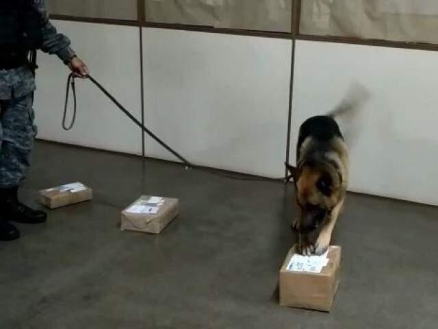 Cachorro indicando em qual das caixas estava a droga. (Foto: Divulgação/Choque)