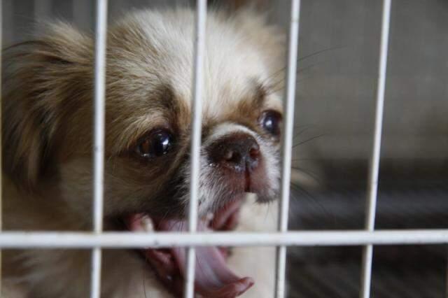 Cachorro piquenês está na gaiola, à venda por R$ 700,00. (Foto: Cleber Gellio)