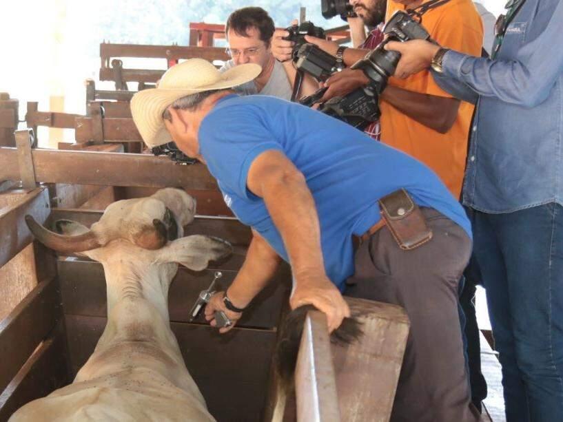 Gado sendo vacinado contra febre aftosa em Mato Grosso do Sul. (Foto: Divulgação/Semagro)