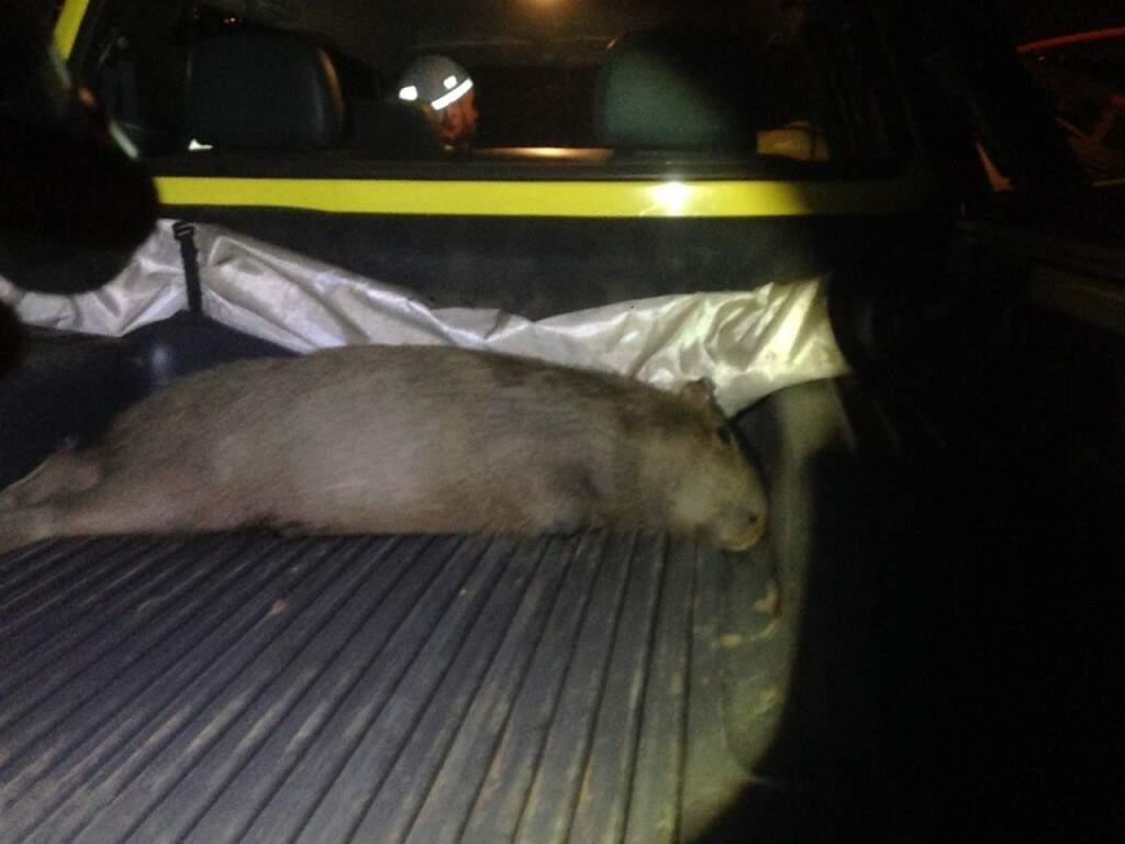 O animal foi retirado da pista por funcionários do aeroporto.  (Foto: Direto das Ruas)