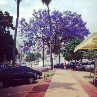 Ipê roxo todo florido no centro de Campo Grande encanta leitora