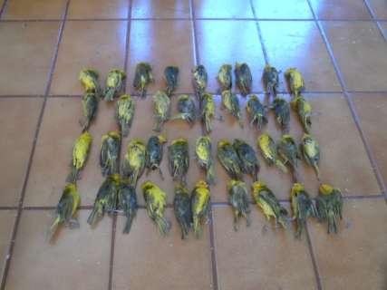 Dupla flagrada com 600 canários é multada em R$ 300 mil