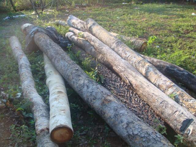 """Polícia encontrou 8,61 m³ de madeira das espécies """"angico"""" e """"cumbaru"""", em esteio e vigas (Foto: PMA/Divulgação)"""