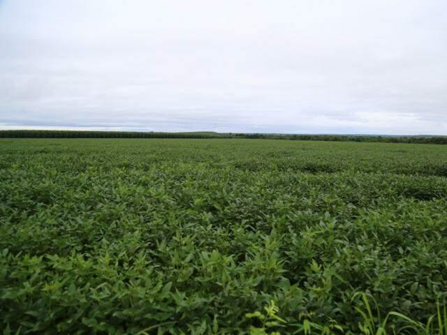 Plantação de soja em Terenos (Foto: Marcos Ermínio)