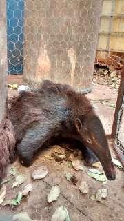 Filhote de tamanduá-bandeira raro é resgatado depois de ser atropelado na BR-262