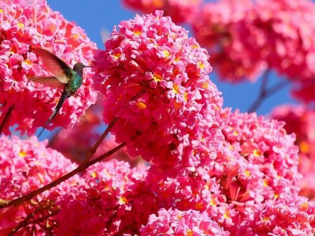 Beija-flor atraído pela cor do ipê rosa. (Foto: André Bittar)