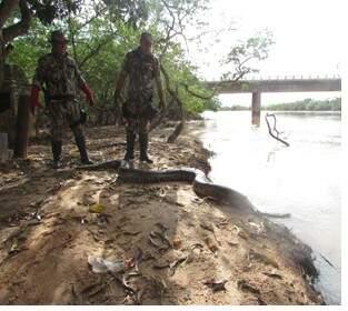 Cobra estava nas margens de rodovia, foi capturada e soltada em rio.(Foto: Divulgação PMA)