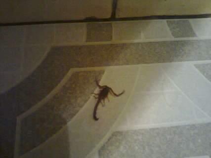 Moradora do bairro São Francisco flagra escorpião dentro de residência