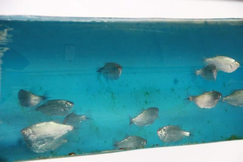 """Peixes que vão povoar Aquário do Pantanal estão em """"casa"""" provisória. (Foto: Fernando Antunes)"""