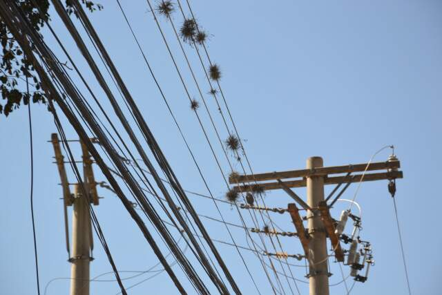 Uma semente é levada pelo vento e em um estreito fio da rede elétrica, a planta se instala. (Fotos:Minamar Júnior)
