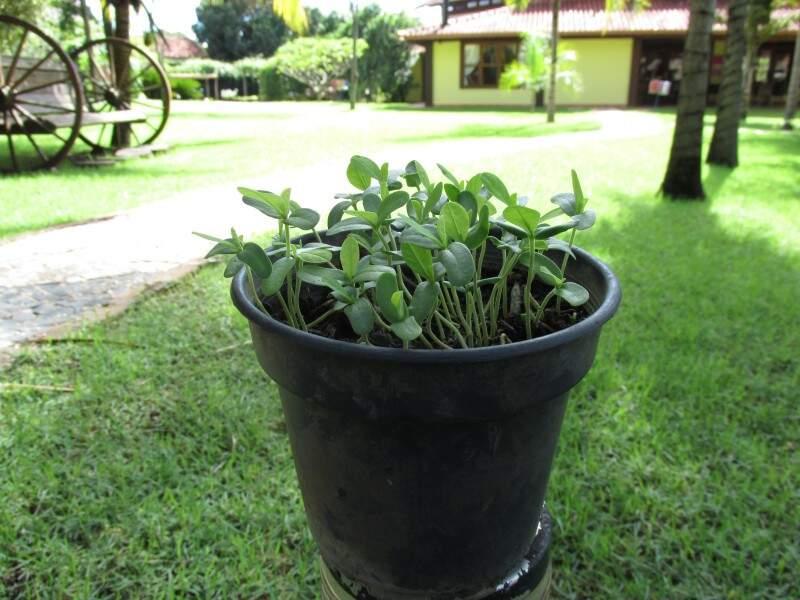 Planta com 9 dias e em fase de crescimento. (Foto: Willian Yudi)