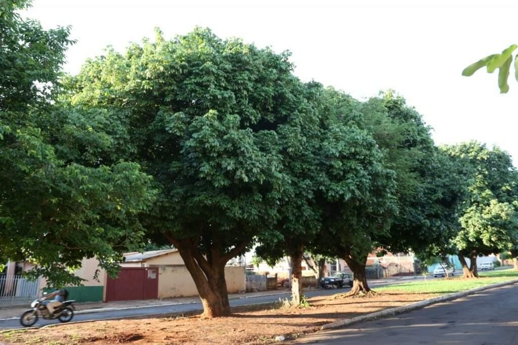 As árvores são folhosas e têm galhos grossos e fortes no bairro Jóquei Clube. (Foto: Paulo Francis)