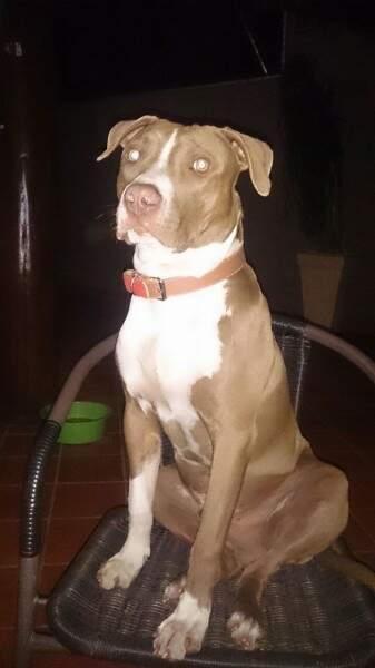 Pitbull ainda é filhote e também foi levado pelos ladrões. (Foto: Divulgação Direto das Ruas)