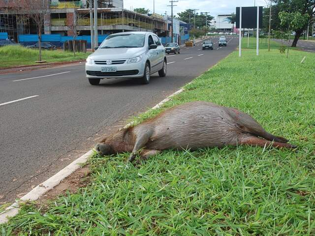 Animal pode ter sido atropelado na madrugada. Este é o segundo atropelamento de capivara em 2011 na Capital (Foto: Simão Nogueira)