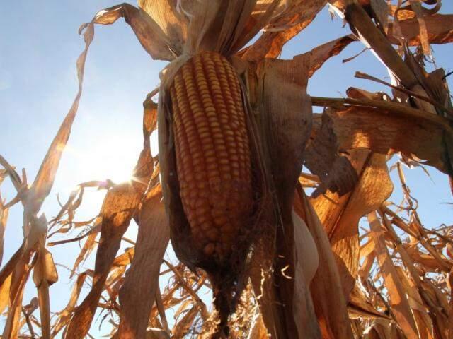 Safra de milho em MS é recorde neste ano (Foto: Arquivo)