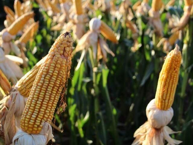 Milho produzido na safra 2016/2017: MS avançou pouco na colheita deste ano em relação à passada (Foto: Aprosoja)