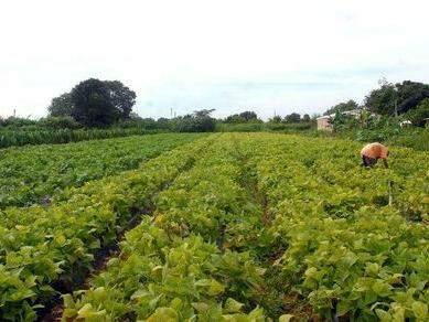 Agricultor trabalha em lavoura (Foto: Elza Fiúza/Agência Brasil)