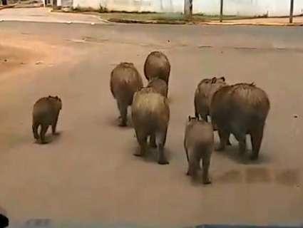 Família de capivaras é flagrada andando em avenida em direção a shopping