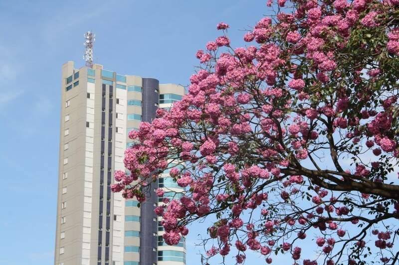 Ipê rosa da avenida Afonso Pena (Foto: Marcos Ermínio)