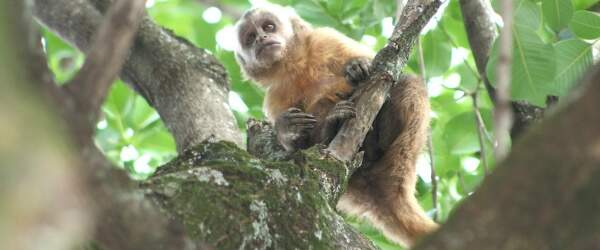 Macaco-prego chamou a atenção de muitos curiosos, mas não se intimidou (Foto: Hedio Fazan/ Dourados Agora)