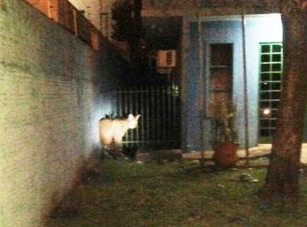 Lobo-guará aparece em agência fazendária e é capturado pela PMA