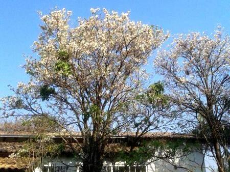 Leitor registra começo de floração do ipê branco. (Foto: Direto das Ruas)