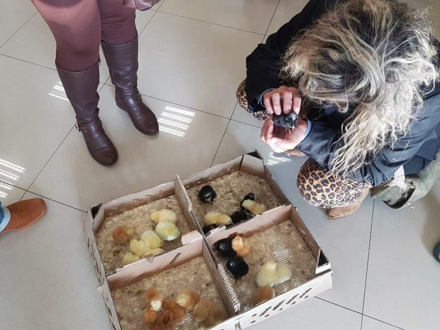 Caixa com pintinhos foi levada à agência do Banco do Brasil e chamou atenção de clientes. (Foto: Anahi Gurgel)