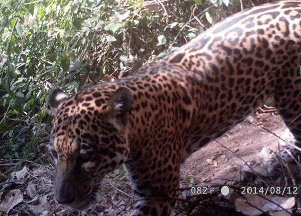 Em 14 dias, sete onças-pintadas já foram vistas em Corumbá. (Foto: Comitê de Incêndios Floresta)