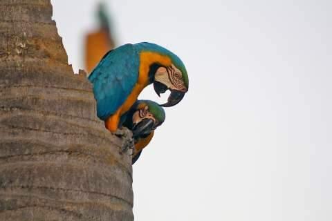 Pipa com cerol é perigo também para araras que habitam as cidades