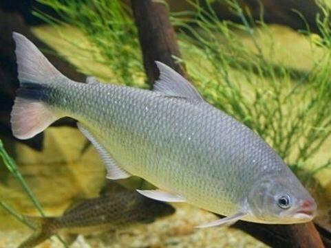 Piracanjuba é considerada uma espécie em extinção. (Foto: Reprodução)