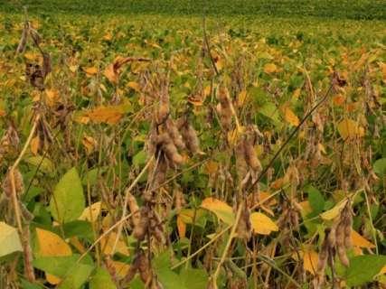 Clima leva produtores de MS a projetarem quebra de 11% na safra de soja