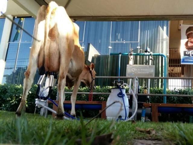 Evento teve leite tirado na hora servido aos participantes (Foto: Ricardo Campos Jr.)