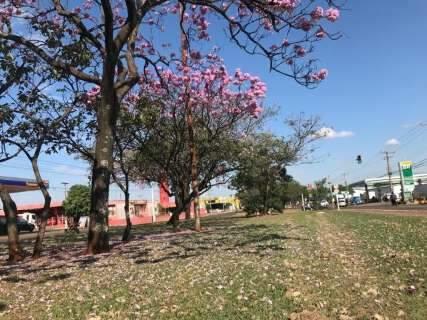 """Primeiro a florescer, Ipê rosa abre temporada das """"cores"""" na Capital"""