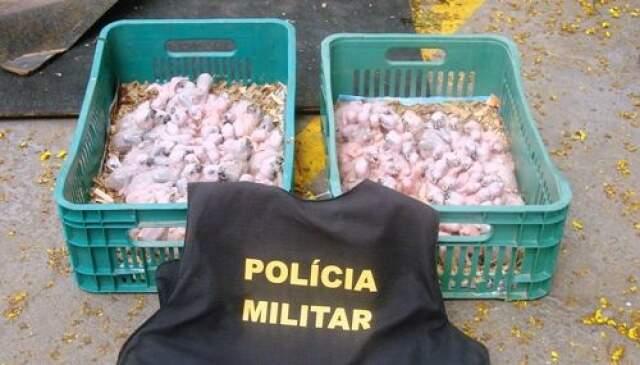 Os filhotes foram comprados por R$ 30 (cada) e seriam vendidos em uma feira de São Paulo. (Foto: Nova Notícias)
