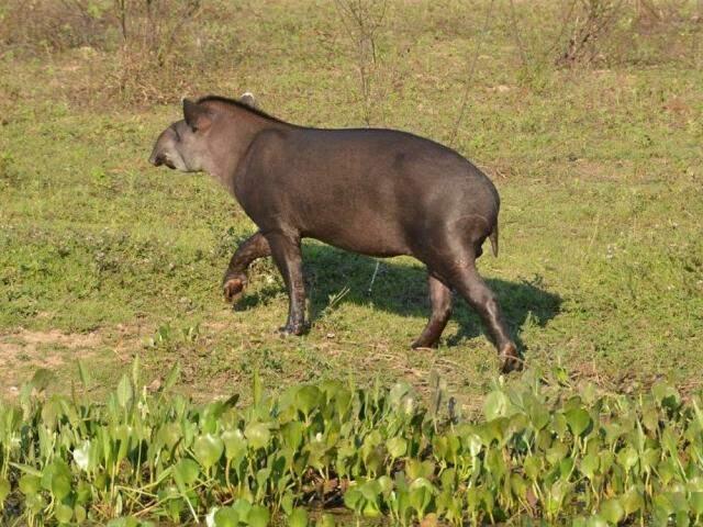 Alvo do estudo, a anta brasileira é um dos animais prejudicados pelos agrotóxicos (Divulgação)