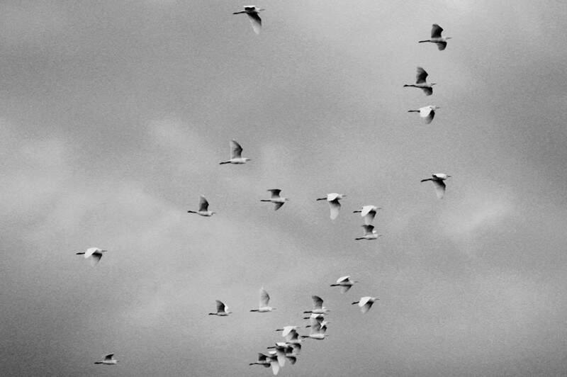 """Vamos para o Norte, querem chuva"""" - Quando a estiagem completa 36 dias, pássaros se deslocam em revoada para o Norte. Seria sinal de chuva? (Foto e legenda de Marcos Ermínio)"""