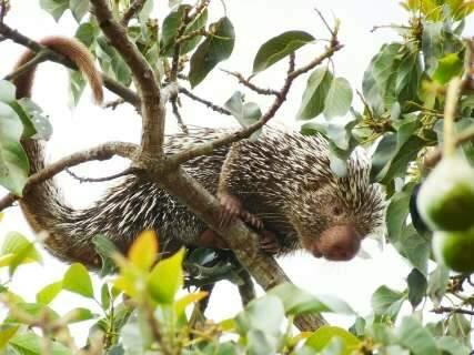 Porco-espinho chega no Natal e quebra rotina na Vila Planalto