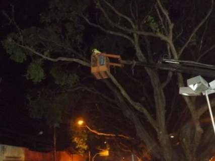 Prefeitura faz manutenção em árvores do canteiro central da Afonso Pena