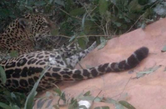 Onça é capturada depois de ser monitorada por 15 dias. (Foto: Divulgação/ Comitê de ncêndios Florestais e Contenção de Animais Silvestres)