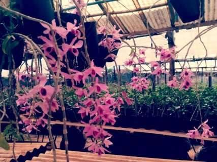 Festival de Primavera tem rosas do deserto com preço direto do produtor