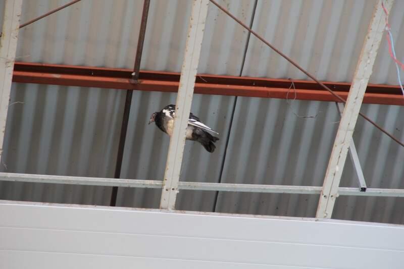 Pombo pousa na parte do teto onde o forro desabou. (Foto: Marcos Ermínio)