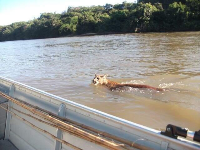 Onça parda se aproximou do barco onde estavam os dois comerciantes (Foto: Luiz Carlos Paiva)