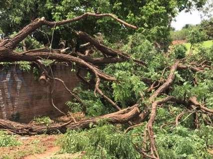 Árvore de grande porte cai durante chuva e destrói muro no Caiçara
