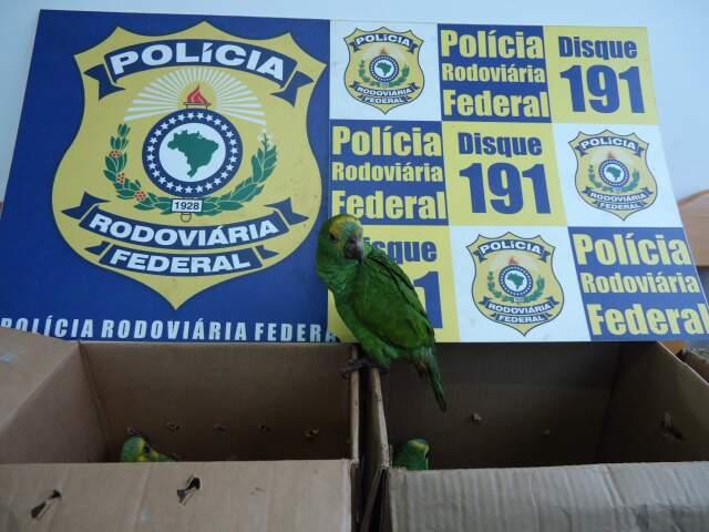 Aves foram apreendidas ontem pela PRF. (Foto: Divulgação)