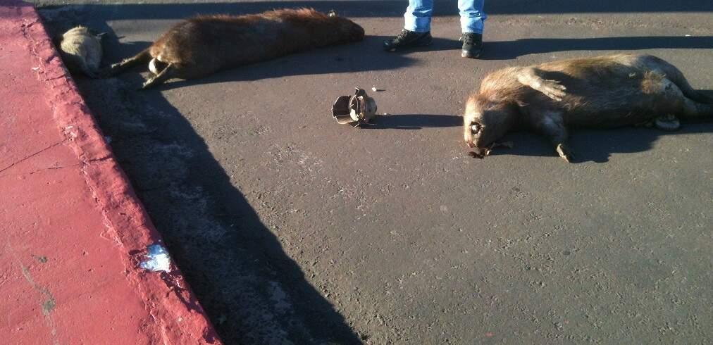Foto mostra duas capivaras e um filhote à esquerda. Os três estão mortos. (Foto: Arquivo Facebook)
