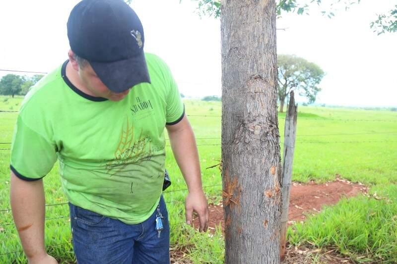 Vizinho da chácara, Ademir Pinheiro, mostra árvore com marcas da onça. (Foto: Fernando Antunes)