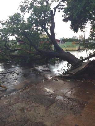 Árvore despencou invadindo a rua e levou junto parte da calçada. (Foto: Isadora Souza)