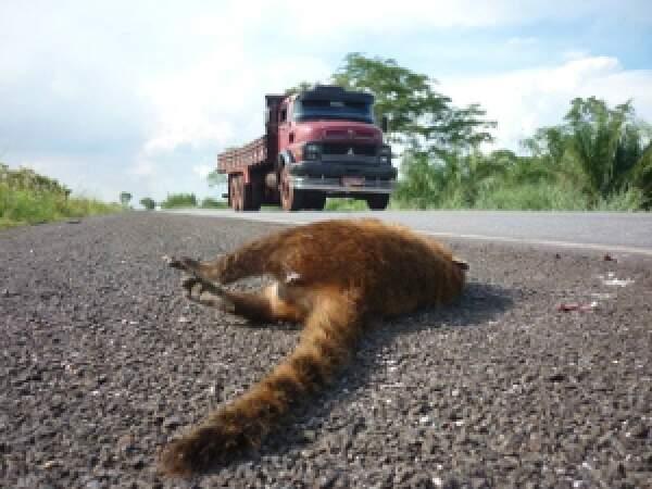 Tamanduá-mirim é principal vítima de atropelamentos na rodovia que corta o Pantanal.